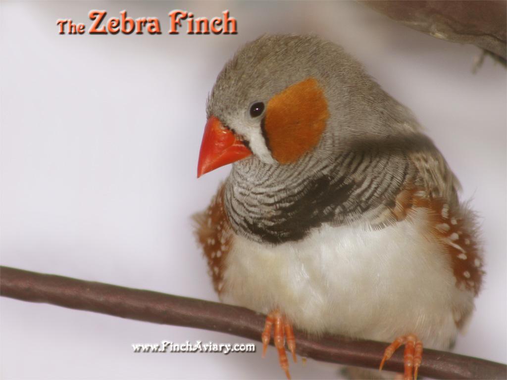 Zebra finch tattoo - photo#16