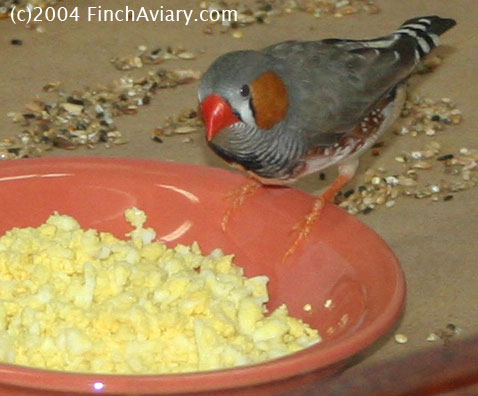 Finch aviary care eggfood recipes ingredients forumfinder Gallery